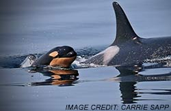 orca_baby